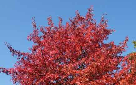 nordamerikanische Sumpfeiche (quercus palustris)